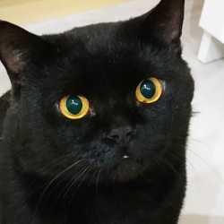 Черный Британский кот. Вязка